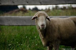 Schaf auf dem Erdlingshof